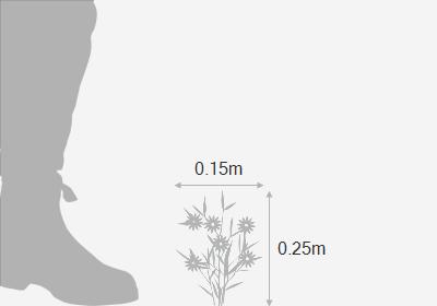 Linaria maroccana 'Fairy Bouquet Group'