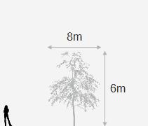 Buy maple Acer pseudoplatanus 'Brilliantissimum': Delivery