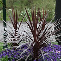 Cabbage tree - Cordyline Red Star