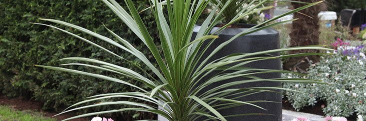 Cabbage tree - Cordyline australis