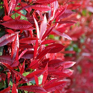 Instant impact with our specimen shrubs