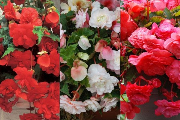 Three scented begonias for spring baskets,chosen by plant buyer John Hiorns