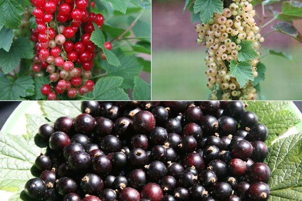 Grow these three currants for great summer recipes, says John Hiorns