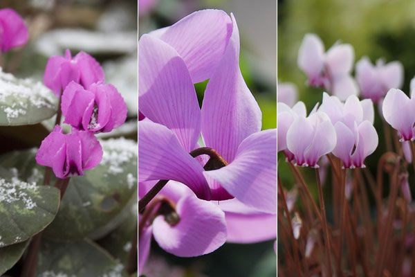 Three hardy cyclamens chosen by plant buyer John Hiorns
