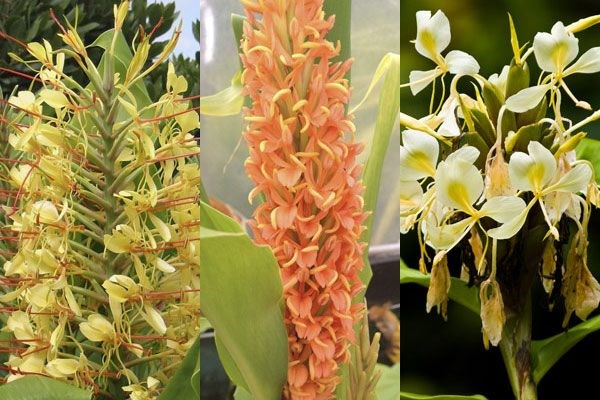 Spice up your garden with these ginger lilies, says plant buyer John Hiorns
