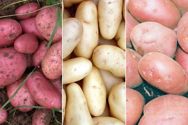 Plant buyer John Hiorns choses blight-resistant potatoes