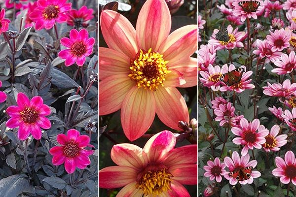 John Hiorns selects Dahlias that suit bees, butterflies  - and a vase