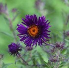 Blending Purples
