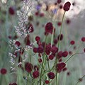 sanguisorba and calamagrotis plant combination