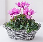 Planted Cyclamen Arrangment