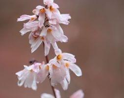 Abeliophyllum Distichum (White Forsythia 'Roseum')