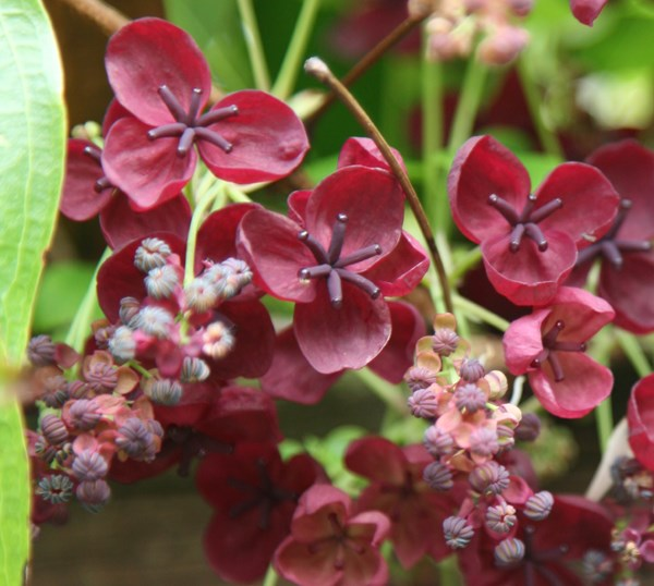 Buy chocolate vine Akebia quinata: Delivery by Crocus