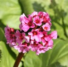elephant's ears / heart-leaf bergenia