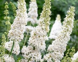 Buddleja davidii 'White Profusion' (butterfly bush)