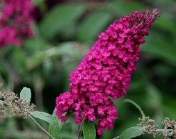 Buddleja davidii 'Royal Red' (Butterfly Bush)