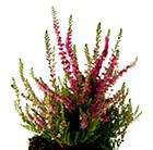 Calluna vulgaris Dark Beauty (PBR)