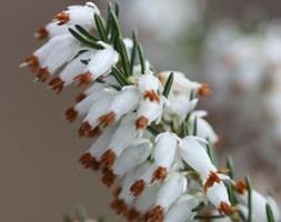 Erica carnea f. alba 'Whitehall' (winter heath)