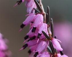 Erica x darleyensis 'Furzey' (darley dale heath)