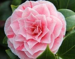 Camellia japonica  'Lady Vansittart' (camellia)