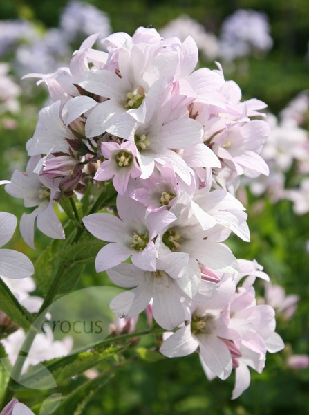 milky bellflower