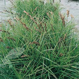 Carex muskingumensis (palm branch sedge)