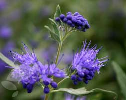 Caryopteris 'Heavenly Blue'