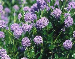Ceanothus andapos;Autumnal Blueandapos; (Californian lilac)