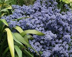 Ceanothus andapos;Puget Blueandapos; (Californian lilac)