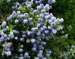 Ceanothus andapos;Skylarkandapos; (Californian lilac)