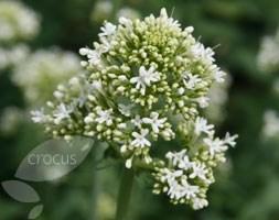 Centranthus ruber 'Albus' (valerian)
