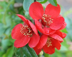 Chaenomeles x  superba 'Crimson and Gold' (flowering quince)