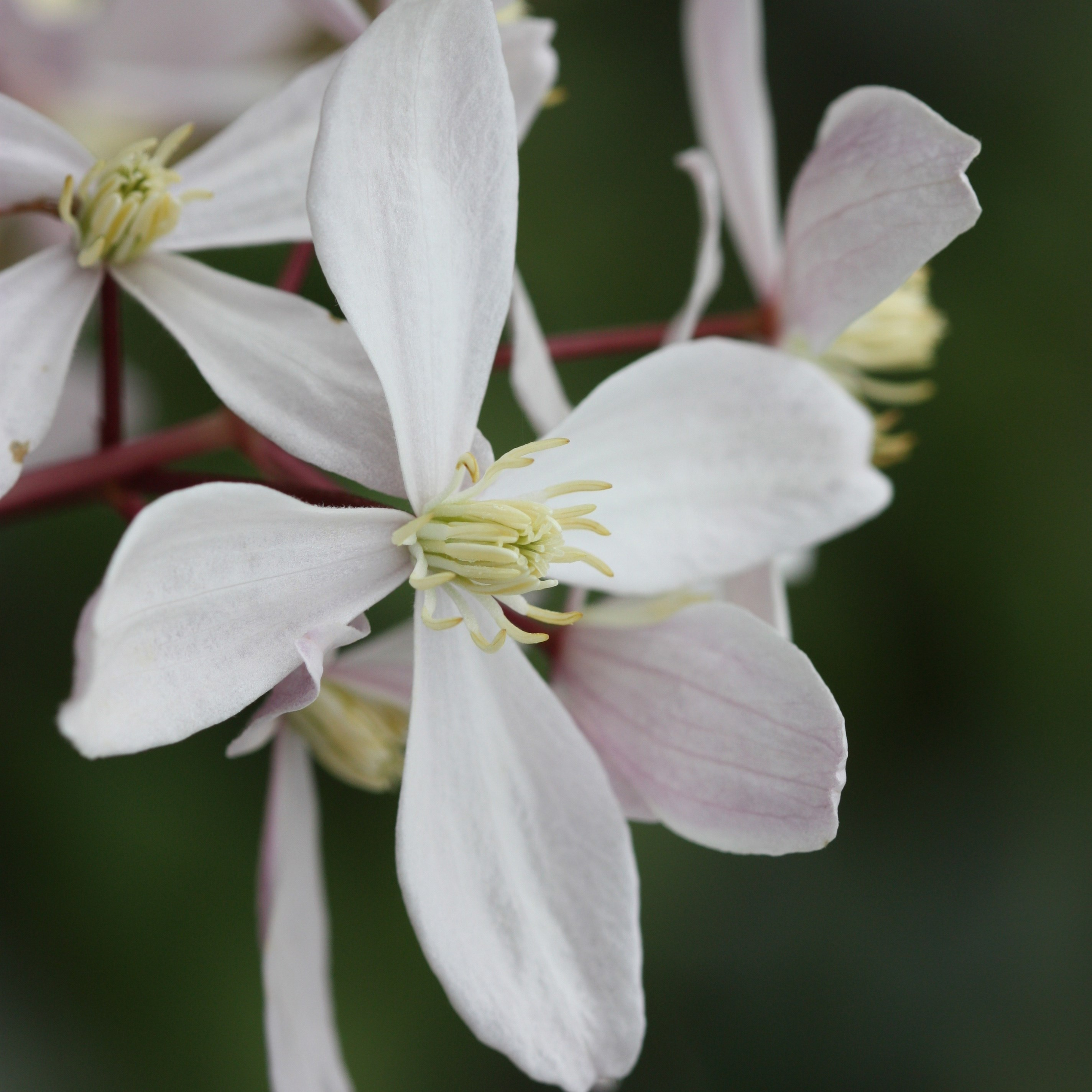 Clematis 'Apple Blossom' (clematis (group 1))
