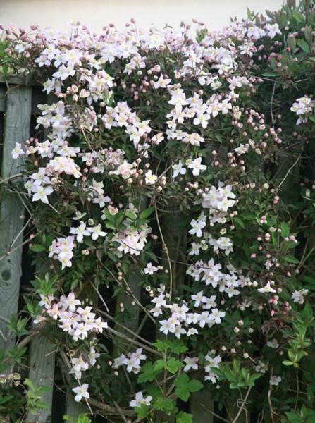Clematis montana var. rubens 'Pink Perfection'. clematis (group 1)