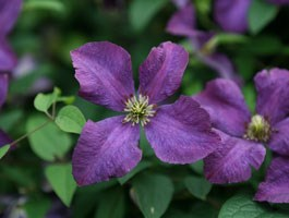 clematis (group 3)
