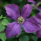 Clematis Etoile Violette