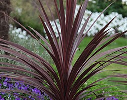 Cordyline australis 'Red Star' (cabbage tree)