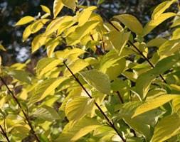 Cornus alba 'Aurea' (red-barked dogwood)