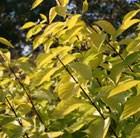Cornus alba Aurea