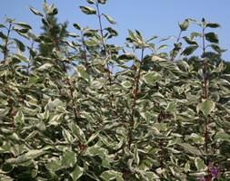 Cornus alba 'Elegantissima' (red-barked dogwood)
