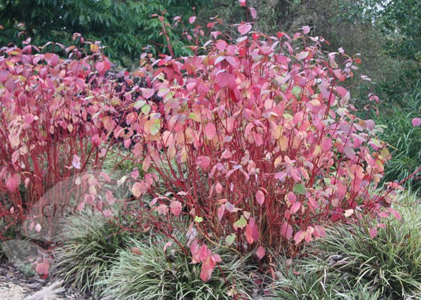 red-barked dogwood