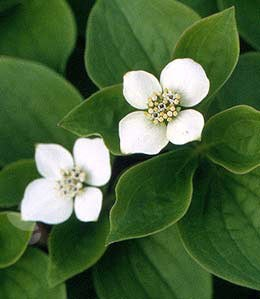 Cornus canadensis (Creeping dogwood)