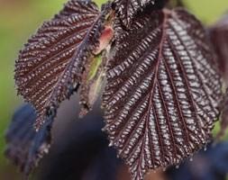 Corylus maxima 'Purpurea' (filbert)
