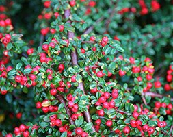 Cotoneaster x suecicus 'Coral Beauty' (coral beauty cotoneaster)