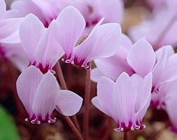 Cyclamen hederifolium (sowbread  (syn. Cyclamen neapolitanum ))