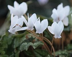 Cyclamen hederifolium var. hederifolium f. albiflorum (sowbread)