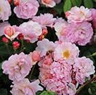 rose Cornelia (hybrid musk)