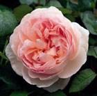 rose Sharifa Asma (shrub)