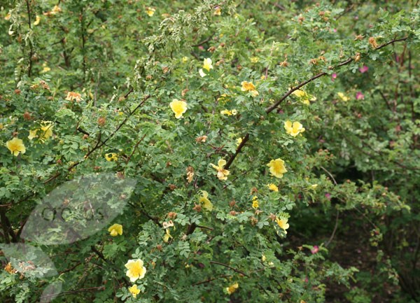 rose Canary Bird (shrub)