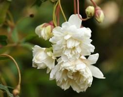 Rosa banksiae var. banksiae (rose (rambler))
