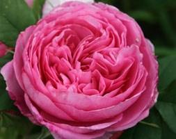 Rosa Gertrude Jekyll  ('Ausbord') (PBR) (rose Gertrude Jekyll  (shrub))